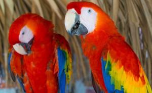 papagayo-benicarlo
